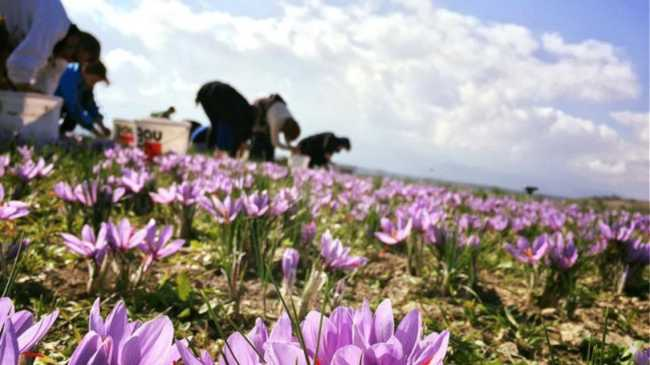 harvesting saffron in greece